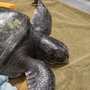 Green sea turtle found stranded at mouth of Columbia River dies