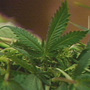 Marijuana grow operation found in Bedford County man's home