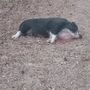 Jasper County deputies searching for who shot pet pig in front of children