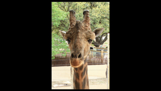 Mesi was born March 4, 2005 at the San Diego Zoo Safari Park.  He arrived at the Abilene Zoo on Oct. 7, 2014.  He's the tallest of the herd, and his coloring is much darker. He also loves to eat from the feeding deck.