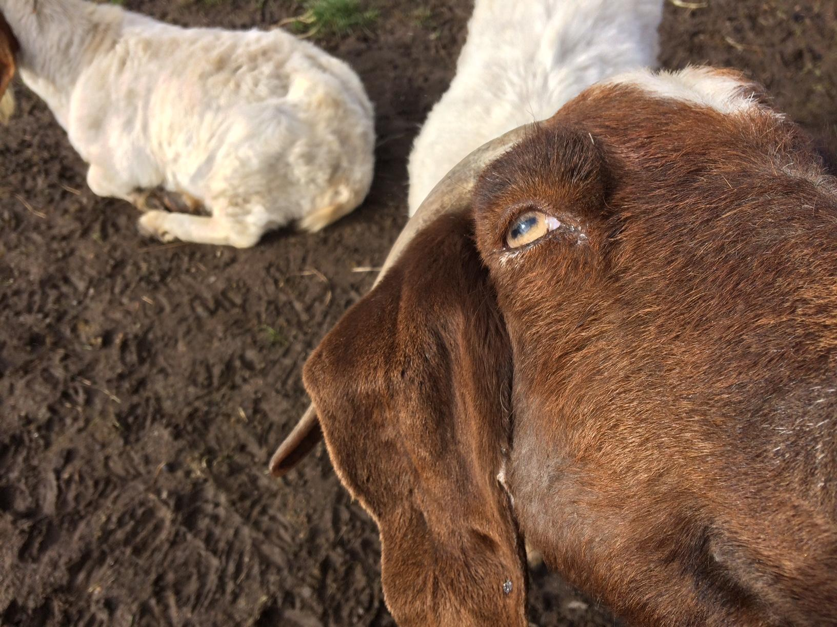 Motorists along Airport Road west of Lebanon are still doing double takes on the sight of 110 Boer goats and a guard zebra named Zinfandel, or Lady Zin for short. It's all part of the 90 acre Wilton Boer goat ranch owned by Norman and Rosalinda Vizina. (SBG)