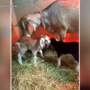 Smiling Hill Farm offers $1,000 reward for information on slain goat