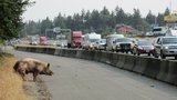 Photos: Giant pig on the lam on Interstate 5