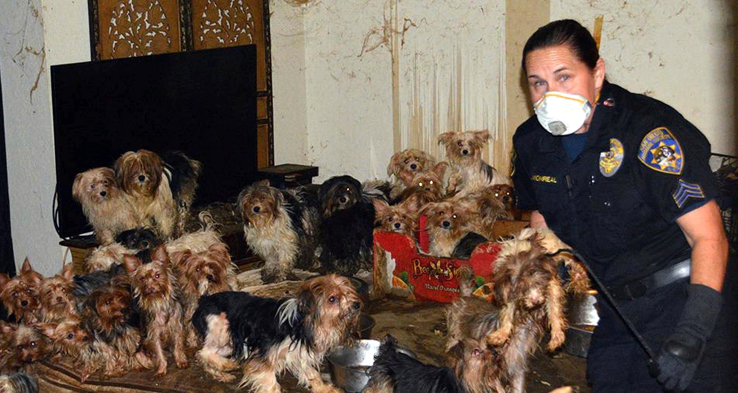 This Jan. 20, 2017, photo provided by the San Diego Humane Society shows the scene where over 170 Yorkshire terrier and Yorkie mix dogs were discovered in Poway, Calif. A San Diego County couple has pleaded guilty to hoarding the dogs in filthy conditions, entering pleas Monday, June 12, to animal neglect. They face probation and counseling and can't own pets for a decade. (San Diego Humane Society via AP)