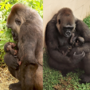 Little Rock Zoo announces birth of baby gorilla