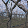 Winegrowers deal with warmer-than-usual temps