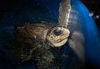 Thunder the turtle in tank prior to transport to SeaWorld for further rehabilitation until release - Credit Oregon Coast Aquarium.jpg