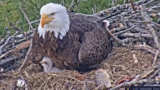 Baby makes three: Third eaglet makes debut on ETSU eagle cam