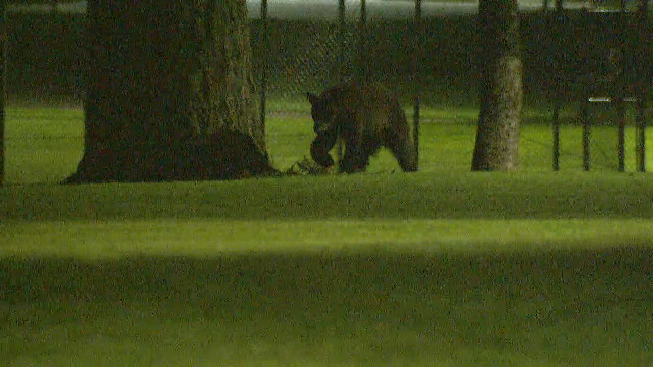 A bear that was stuck high atop a tree in Renton has finally come down. (Photo: KOMO News)