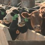 Ranchers celebrate lead over Texas for cattle on feed