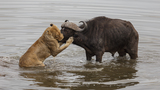 Photos capture water buffalo's desperate attempt to fight off a pride of ravenous lions