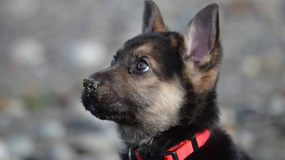 'You get to be a puppy forever:' Whatcom Co. rescue creates bucket list for dying puppy