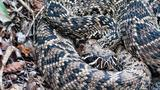 PHOTO GALLERY: South Carolina venomous snake guide