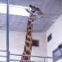 Greenville Zoo's newest resident is 7-year-old giraffe