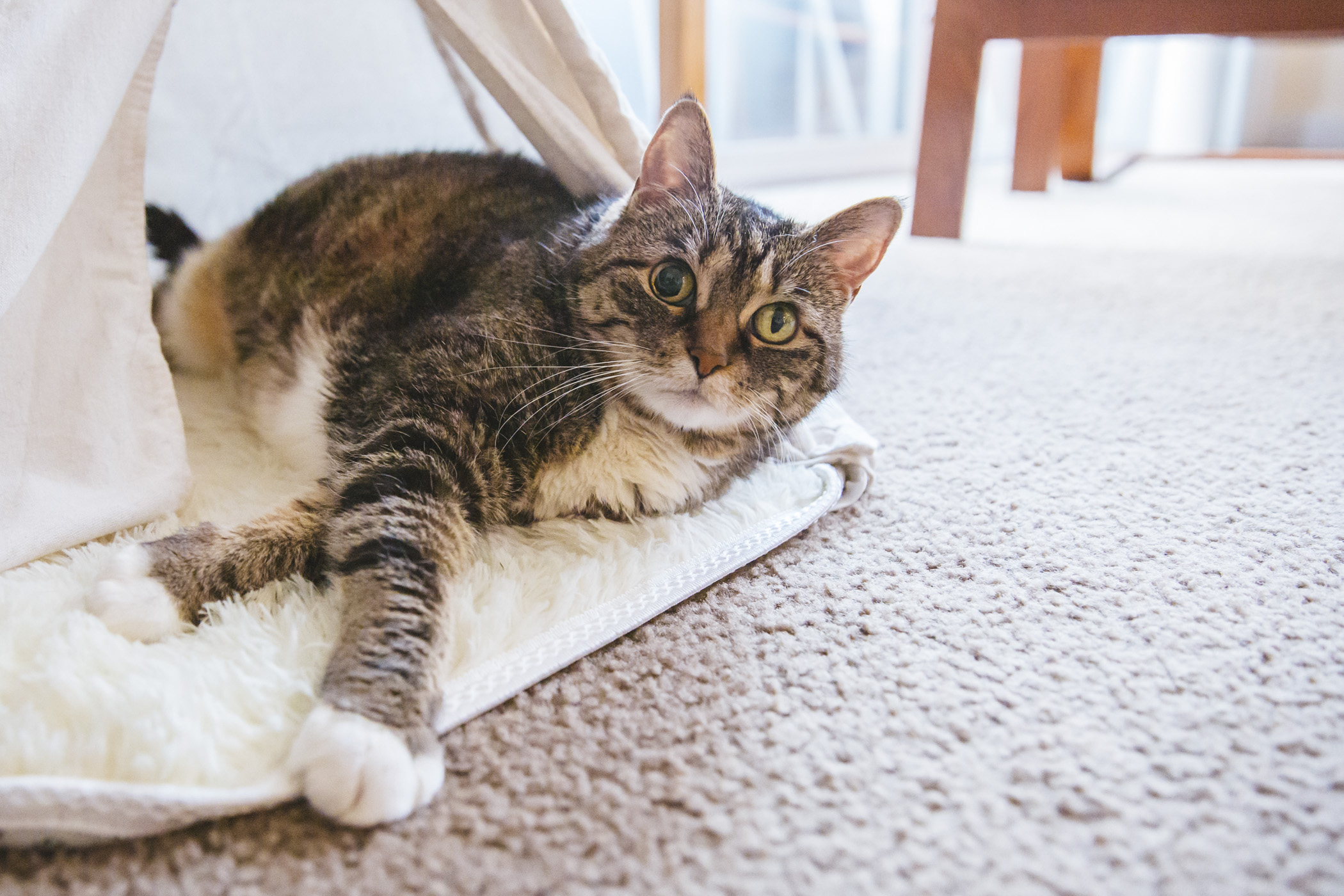 "Zoey is 13-year-old born and raised PNW girl who loves hanging on the patio and enjoying the sun! She is living her best life kneading biscuits while aggressively purring making uninterrupted eye contact at all times.{&nbsp;}<a  href=""http://seattlerefined.com/ruffined"" target=""_blank"">The Seattle RUFFined Spotlight</a>{&nbsp;}is a weekly profile of local pets living and loving life in the PNW. If you or someone you know has a pet you'd like featured, email us at{&nbsp;}{&nbsp;}and your furbaby could be the next spotlighted! (Image: Sunita Martini / Seattle Refined)"
