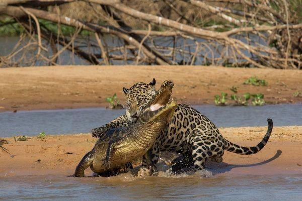 The jaguar grabbed the caiman first with its right front paw, then bit the reptile's back a little below the head. The predator then quickly adjusted its bite to the base of his skull then wrestled it into a dragging position.