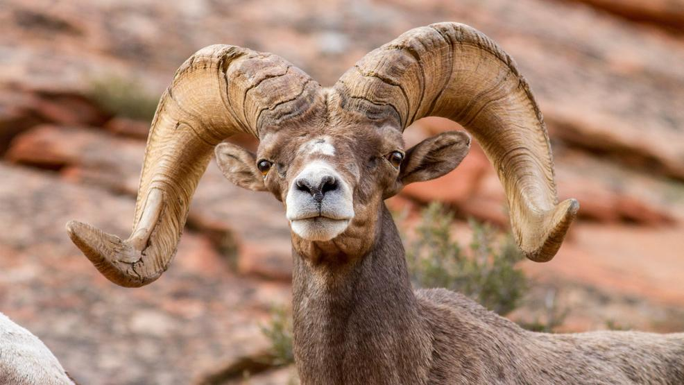 Volunteers needed to help replace bighorn sheep guzzler near Primm - News3LV