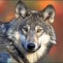 State kills 6 wolves so far in drive to exterminate predatory pack